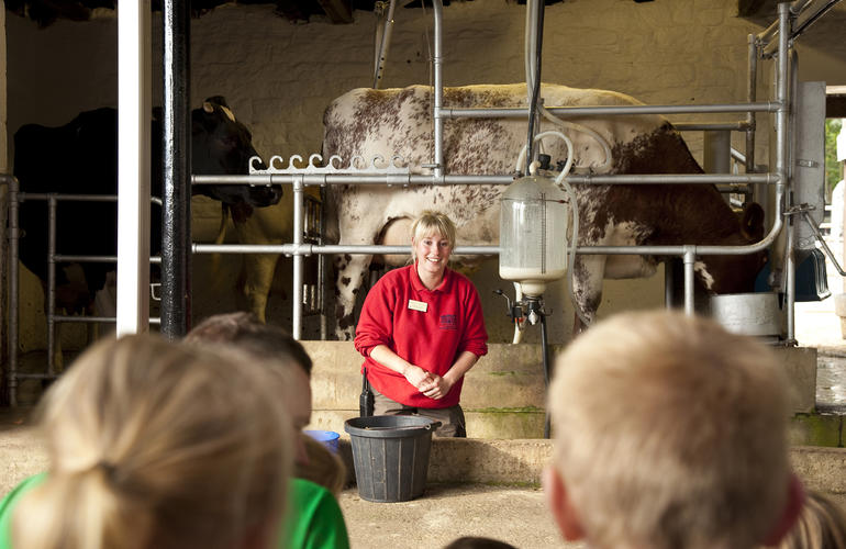 Cow milking demonstration at Chatsworth Farmyard